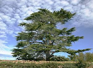 cedros Libano